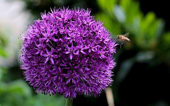 Bee, Allium Purple Sensation, Flower, Purple
