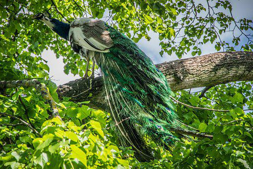 Peacock, Bird, Feather, Colorful, Colors, Elegant, Tree