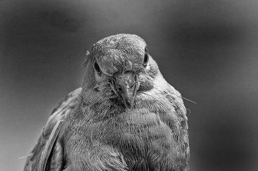 Dove, Bird, Portrait, Nature, Feathers, Plumage