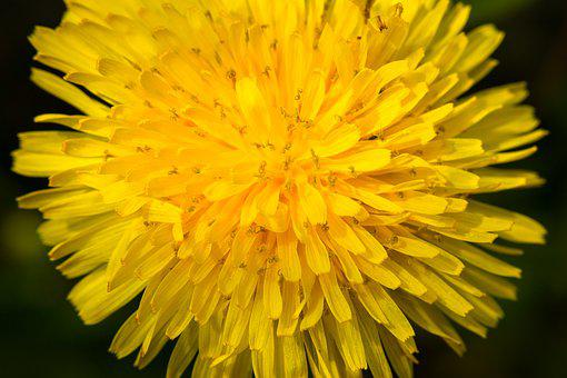 Dandelion, Blossom, Bloom, Stamp, Pistil, Flower
