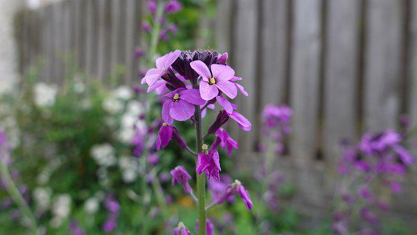 Matthiola, One-year, Bloom, Flowers, Purple, Spring