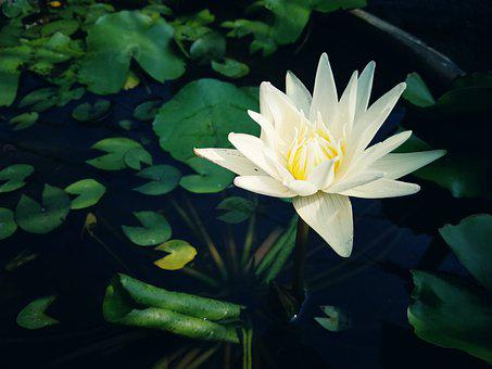 Lotus, Flower, Blossom, Nature, Plant, Background