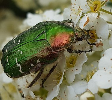 Beetle, Blossom, Bloom, Nature, Garden, Krabbeltier
