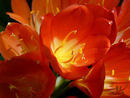 Blossom, Bloom, Red, Close Up, Klievie