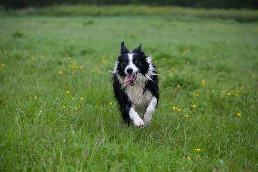 Border Collie, Wet Dog, Collie, Black And White Collie