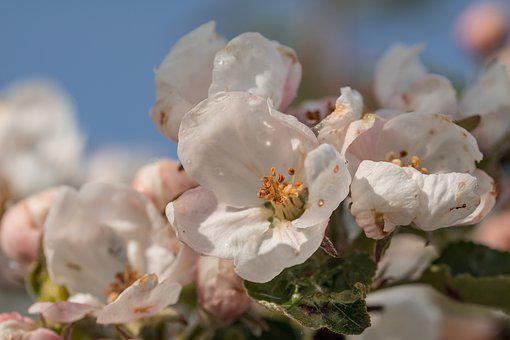 Apple Tree Blossom, Blossom, Bloom, Apple Tree, Branch