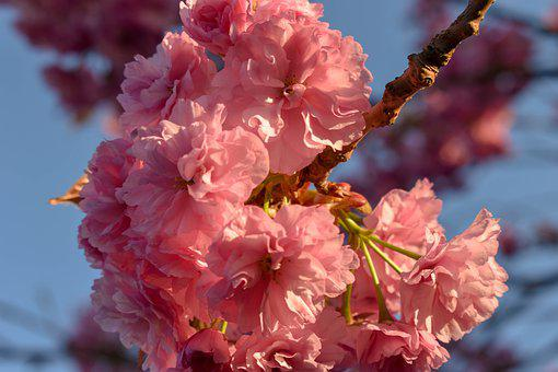 Cherry, Cherry Blossom, Cherry Flowers, Spring Flowers