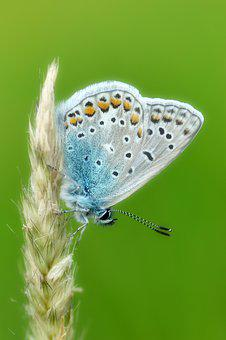 Common Blue, Butterfly, Butterflies, Insect, Wing
