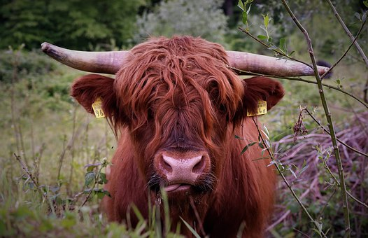Animal, Cow, Cattle, Horns, Beef
