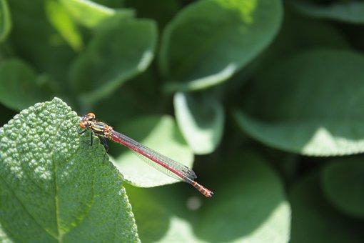 Pyrrhosoma Nymphula, Early Adonis Dragonfly, Dragonfly