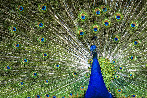 Peacock, Zoo, Rainbow Colors, Bird, Feather, Blue