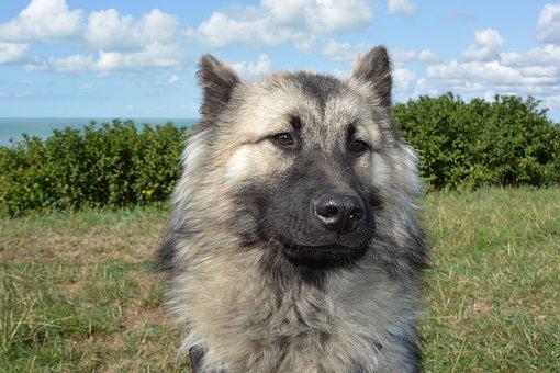 Dog, Bitch, Dog Eurasier, Female, Animal, Companion