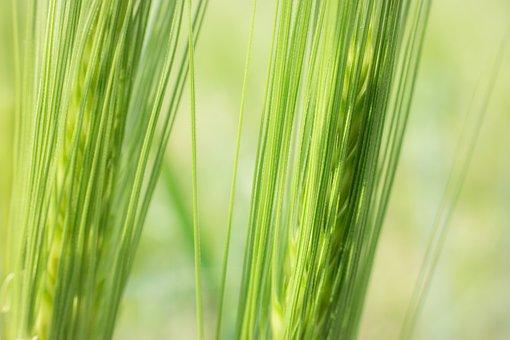 Barley, Cereals, Ear, Cornfield, Field, Grain