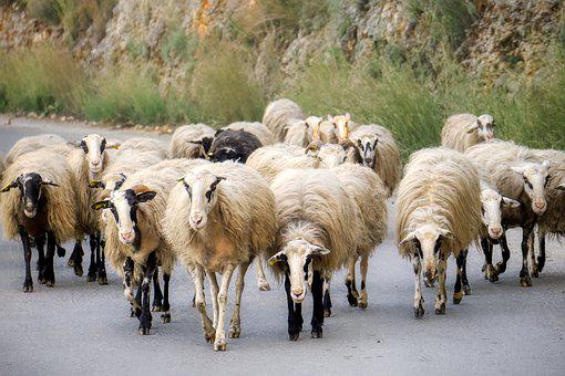Sheep, Road, Landscape, Nature, Animal, Flock, Scenic