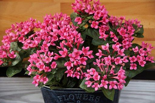 Flower, Plant, Flowering, Pink, Richly, Truhlíková