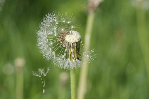 The Fascination Of The Dandelion, Windy, Flying Seeds