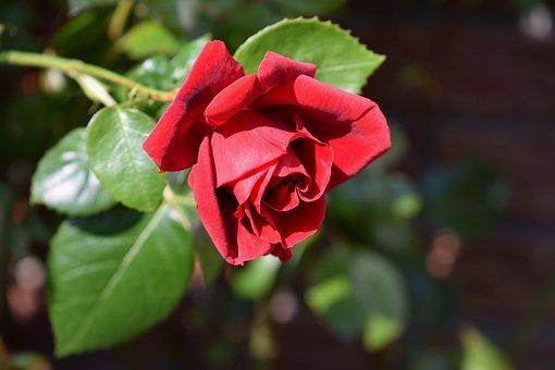 Rose, Red, Red Rose, Blossom, Bloom, Garden Flowers
