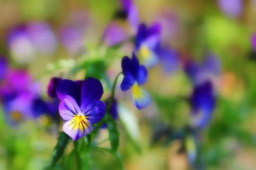 400–500, Flowers, Pansy, Plant, Garden, Spring