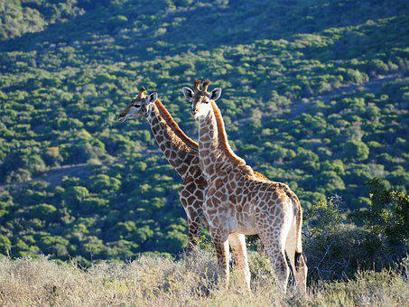 Giraffe, Africa, Safari, Animal, Giraffes, Neck, Wild
