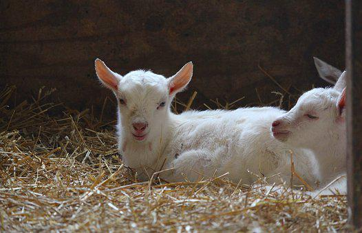 Goat, Baby, Farm, Cute, Livestock, White, Peaceful
