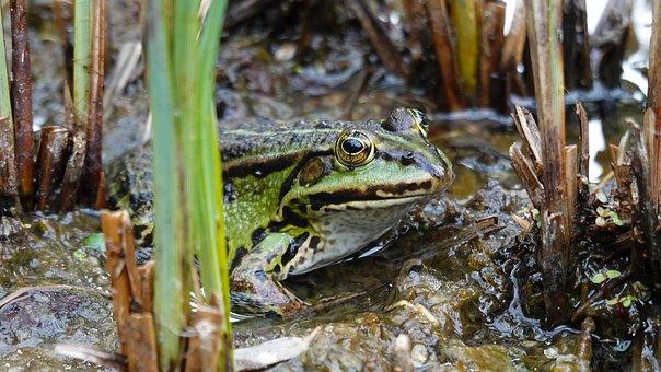 Frog, Green Frog, Amphibian, Nature, Pond, Animal World