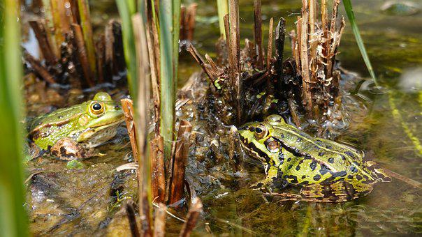 Frogs, Green Frogs, Amphibians, Nature, Pond