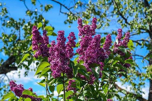 Lilac, Garden Shrub, Flowers, Bloom, Grove