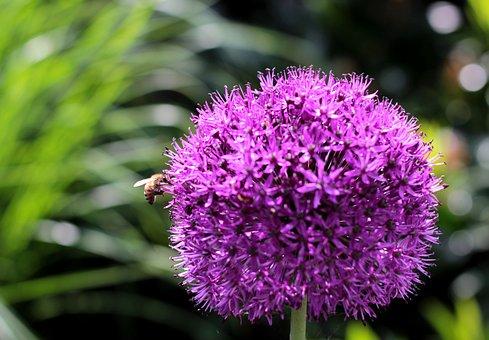 Allium Purple Sensation, Bee, Light, Purple