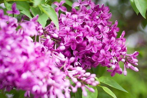 Lilac, Lilacs, Flowers, Purple, Spring, Violet, Nature