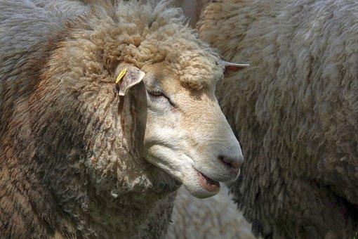 Sheep, Sheep Portrait, Sheepshead, Wool, Fur, Livestock