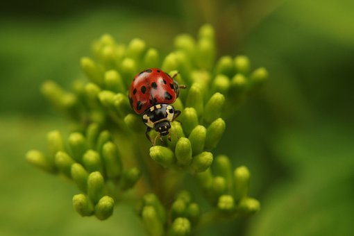 Ladybug, Insect, Macro, Vaquita De San Antonio