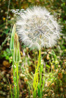 Flower, Dandelion, Lion's Teeth, Flower Seeds, Nature