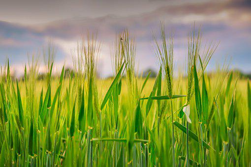 Cornfield, Grain, Grow, Plant, Nature, Agriculture