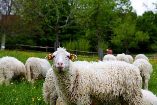 Zaupelschaf, Sheep, Flock Of Sheep, Nature, Meadow