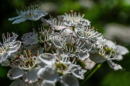Rose Hips, Flower, White, Spring, Nature, Tree