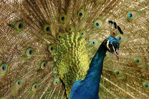 Peacock, Animal, Bird, Wheel, Color, Nature, Colorful