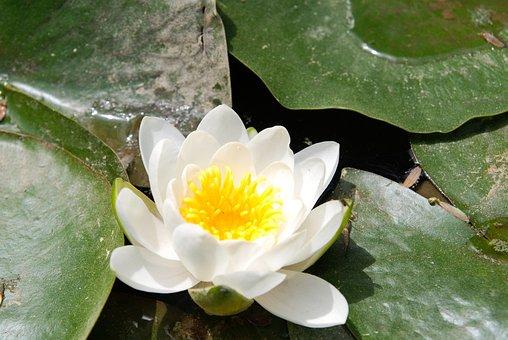 Lotus, Lotus Leaf, Flowers, Pond, Buddhism, Kite, Petal