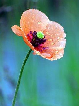 Poppy, Dew, Color, Flora, Colorful, Drop, Light, Petals