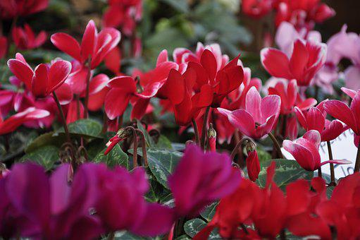 Flowers, Cyclamen, Red, Nature, Pink, Plant, Garden
