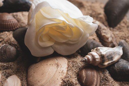 Rose, Snail, Shells, Sand, Flower, Nature, Plant