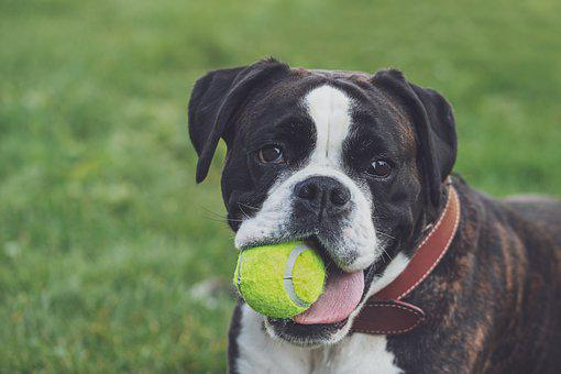 Boxer, Dog, Ball, Play, Black And White, Brindle, Lying