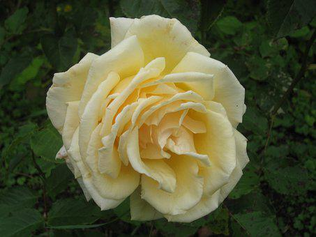 Flower, Rose, Yellow, Nature, Bloom