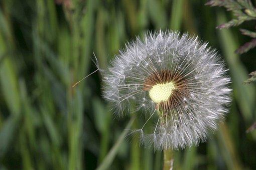 The Fascination Of The Dandelion, Dandelion, Seeds