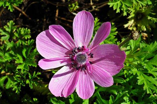 Anemone, Flower, Pink, Spring, Garden, Beautiful