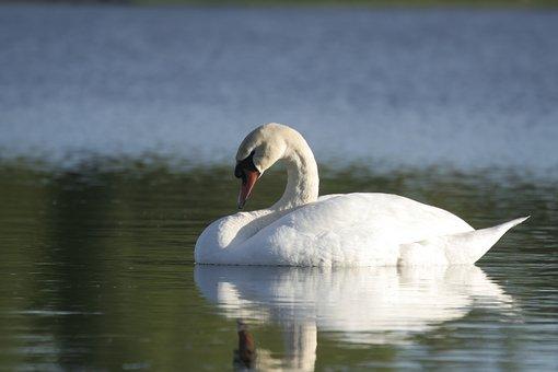 Swan, Water, The Lake, Lind