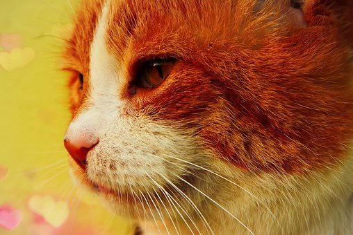 Cat, Rudy, Portrait, Tom, Mustache, Eye, Fur, Animals