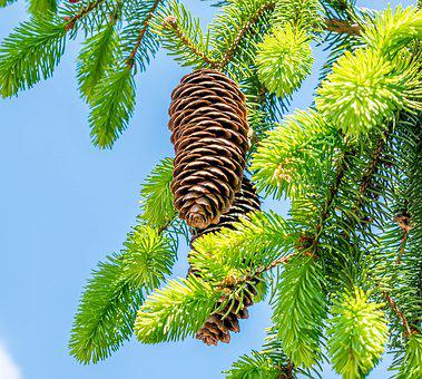 Pine Cones, Fir Tree, Tree, Nature, Tannenzweig