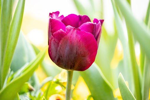 Tulip, Flower, Plant, Ornamental Plant, Nature, Bloom