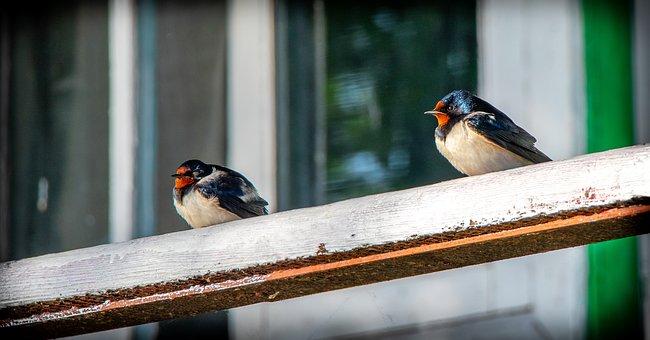 Swallow, Bird, Ornithology, Feathers, Vacation, Flying
