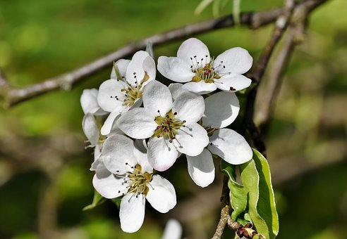 Pear Blossom, Pear, Blossom, Bloom, Bloom, White